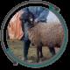 اصلاح نژادهای دامی اصلاح نژاد گوسفندان افشاری