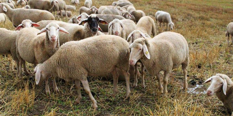 اصلاح نژادهای دامی در گله گوسفند