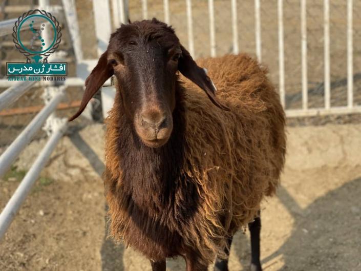 گوسفند اصلاح نژاد شده - افشار ژن