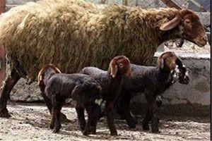معرفی نژاد افشاری گوسفند افشاری