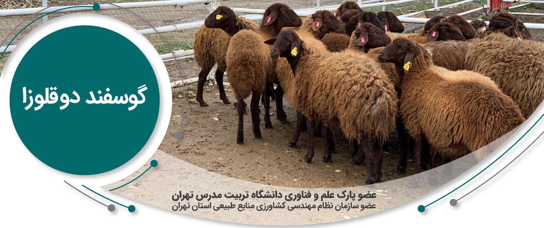 گوسفند دوقلوزا گوسفند دو قلوزا