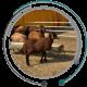 بهداشت گوسفندان گوسفندان ایرانی
