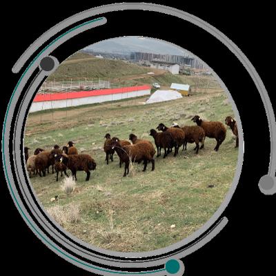 گوسفند چندقلوزا گوسفند چند قلوزا