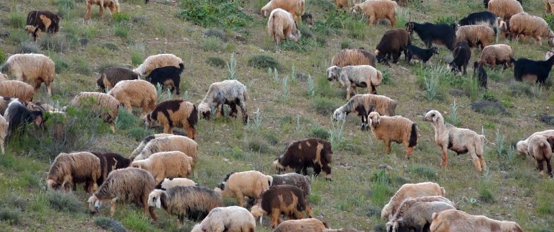 بهداشت گوسفندان