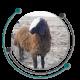 نژاد گوسفند
