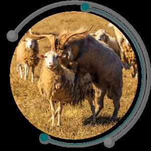 فحلی و تخمک ریزی در تولید مثل گوسفند