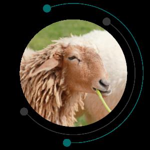اسیدوز گوسفندان یا بیماری اسیدوز یکی از بیماری های گوسفندان
