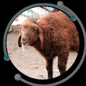 بیماری تب برفکی یکی از انواع بیماری های گوسفندان و واکسن تب برفکی