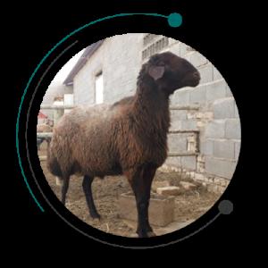 غنی سازی کاه - تغذیه دام و پرورش گوسفند