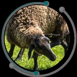 فحل شدن ، تلقیح مصنوعی گوسفند یا همان فحلی