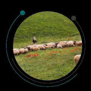 مراتع و نقش چرای گوسفندان در دامپروری
