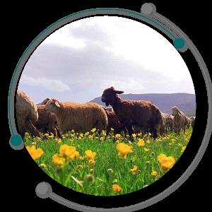 مرتع و پوشش گیاهی اصلیترین منابع تغذیه گوسفندان است.