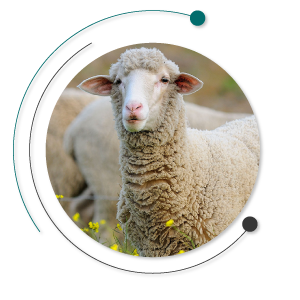 بیماری های خونی چند سیستمی - بیماری های خونی گوسفندان - بیماری های گوسفندان - کم خونی دام - گلبول های سفید