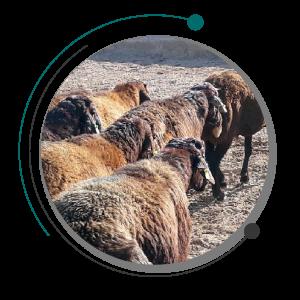 خرید گوسفند - خرید گوسفند زنده - خرید و فروش گوسفند - گوسفند داری - فروش گوسفند