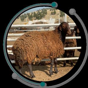 پرواربندی گوسفند