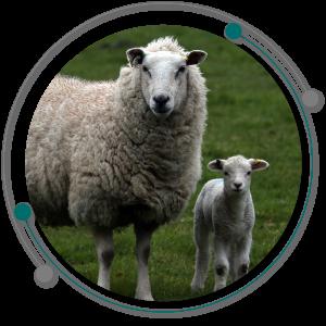 ترس در گوسفند باعث تغییر دررفتار گوسفند شده و در پرورش گوسفند موثر است.