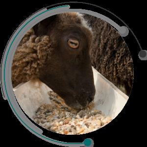 خوراک گوسفند