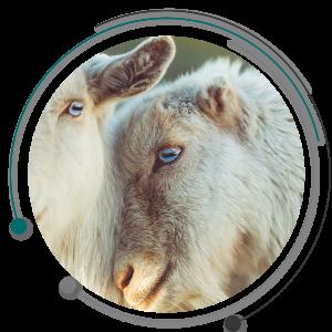 جفت گیری گوسفند