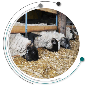 تغذیه گوسفندان