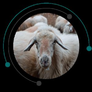مزرعه گوسفند و خریدن گوسفند