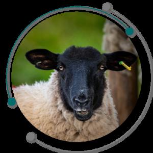 دامداری گوسفندی