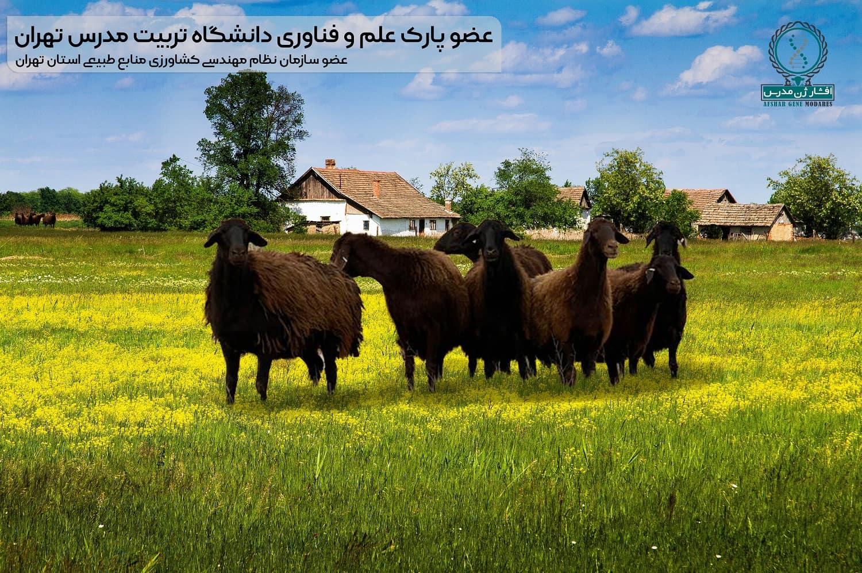 مجتمع دامپروری افشار ژن - تولیدکننده میش و گوسفند دوقلوزا و گوسفند چندقلوزا / قوچ همو و هترو