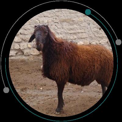 پرورش گوسفند