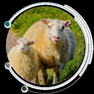 طاعون گوسفندان