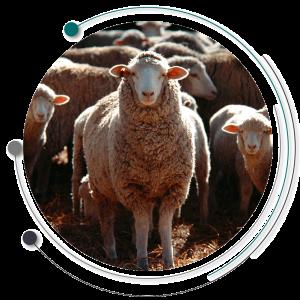 بدن گوسفند