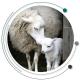 زایمان گوسفند