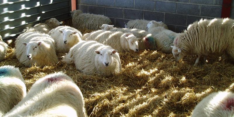 مکان پرورش گوسفند