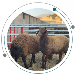 انواع گوسفندان