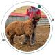 گوسفند گوشتی، شیری یا پشمی