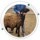 دلایل پرورش گوسفند