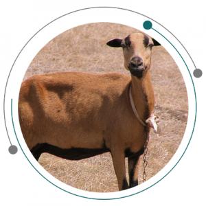 نژادهای گوسفندان آمریکایی