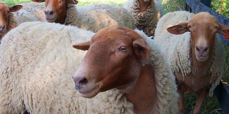 شرایط پرورش گوسفند