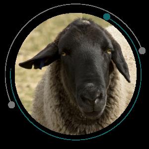 مسمومیت گوسفند