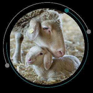 تغذیه گوسفندان شیری