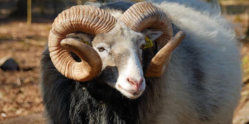 عمر گوسفند