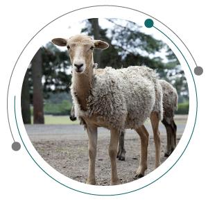 علت لاغری گوسفند