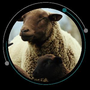 فلاشینگ گوسفند