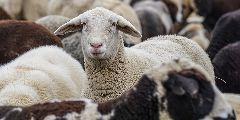 لنگش گوسفندان