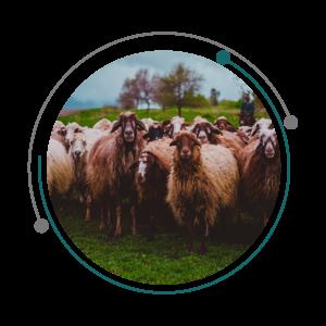 گوسفندان مویی