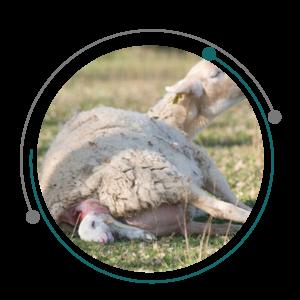 تشخیص آبستنی گوسفند