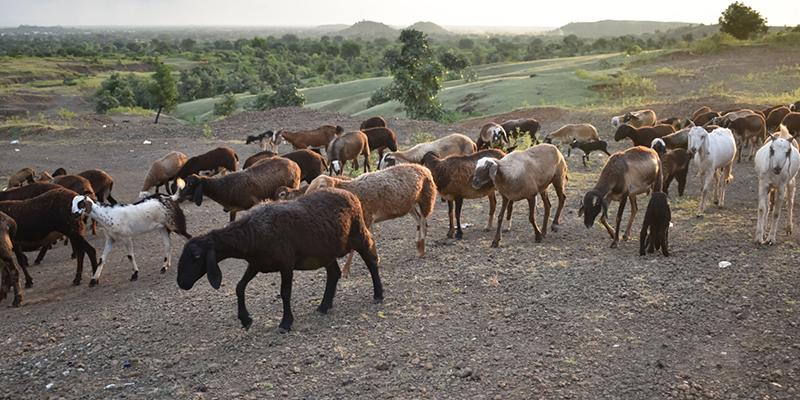 سلامت گوسفند