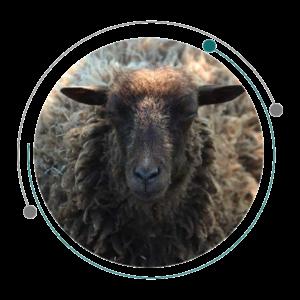 چاق کردن گوسفندان